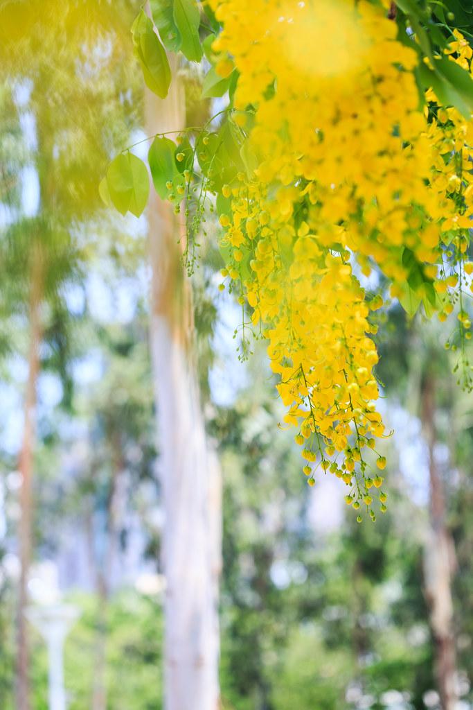 muồng vàng quốc hoa thailand